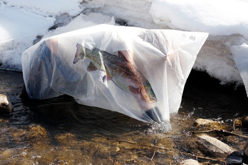 Alicia Escott - Documentation of the further hybridization of a  cutbow trout (Oncorhynchus clarki x mykiss)